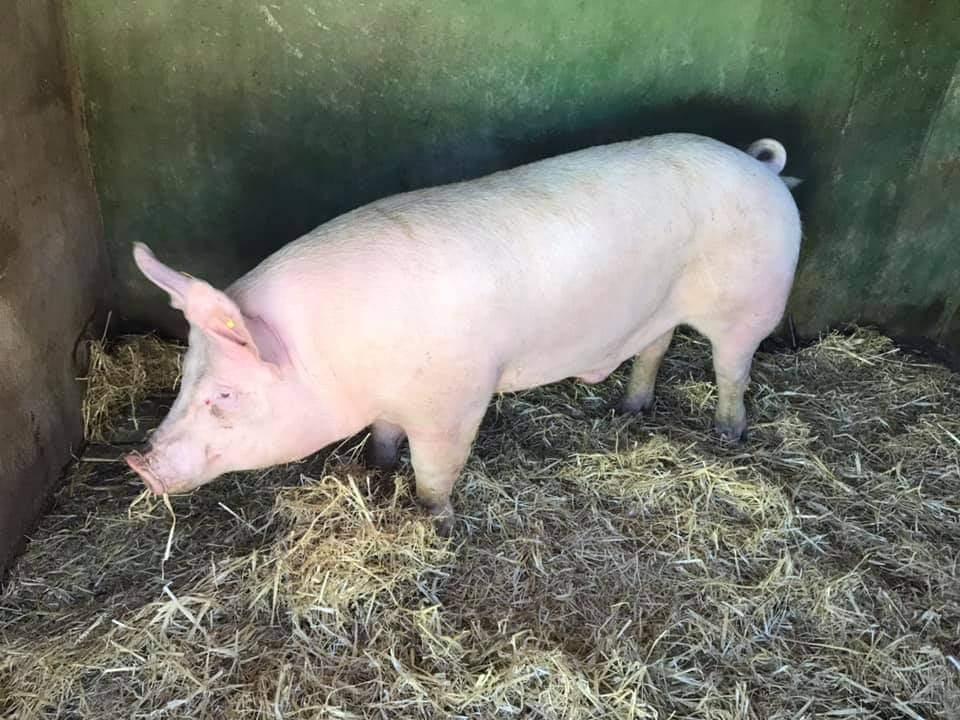 Convocadas las ayudas a la producción de reproductores de porcino