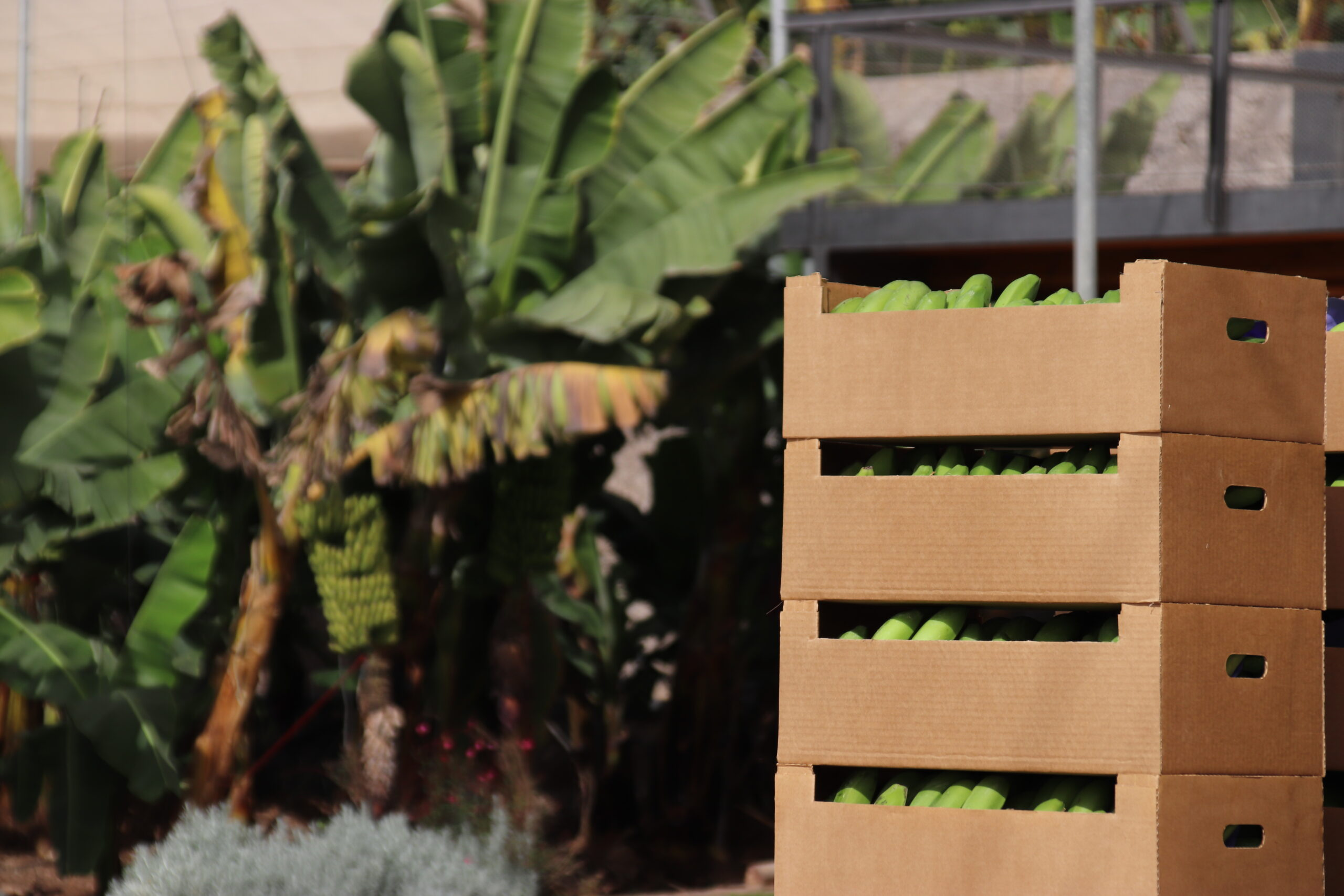 El Gobierno de Canarias abona 74,8 millones de euros a los productores de plátano con IGP  y tomate
