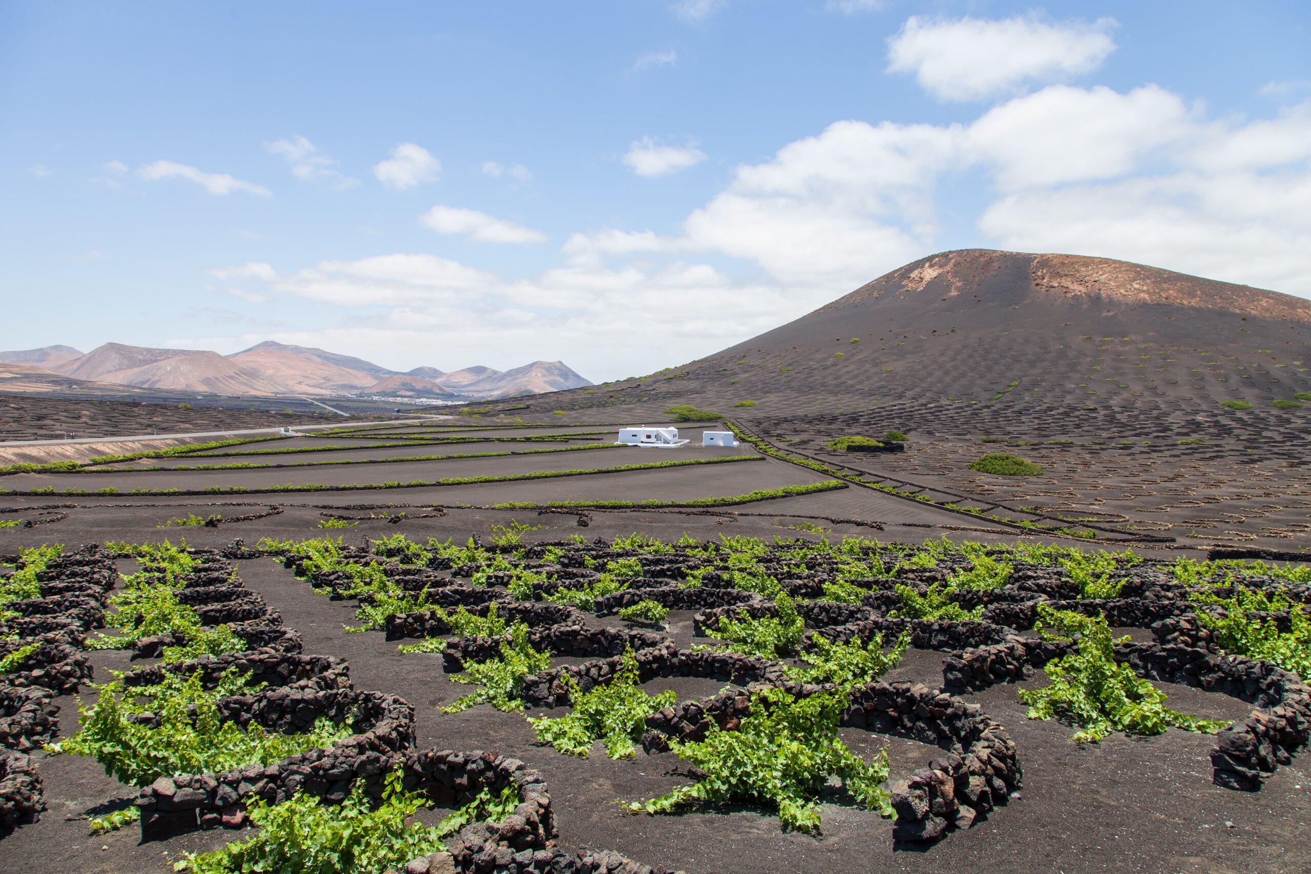 El Gobierno canario destina 3 millones de euros  al cultivo de la viña por hectárea