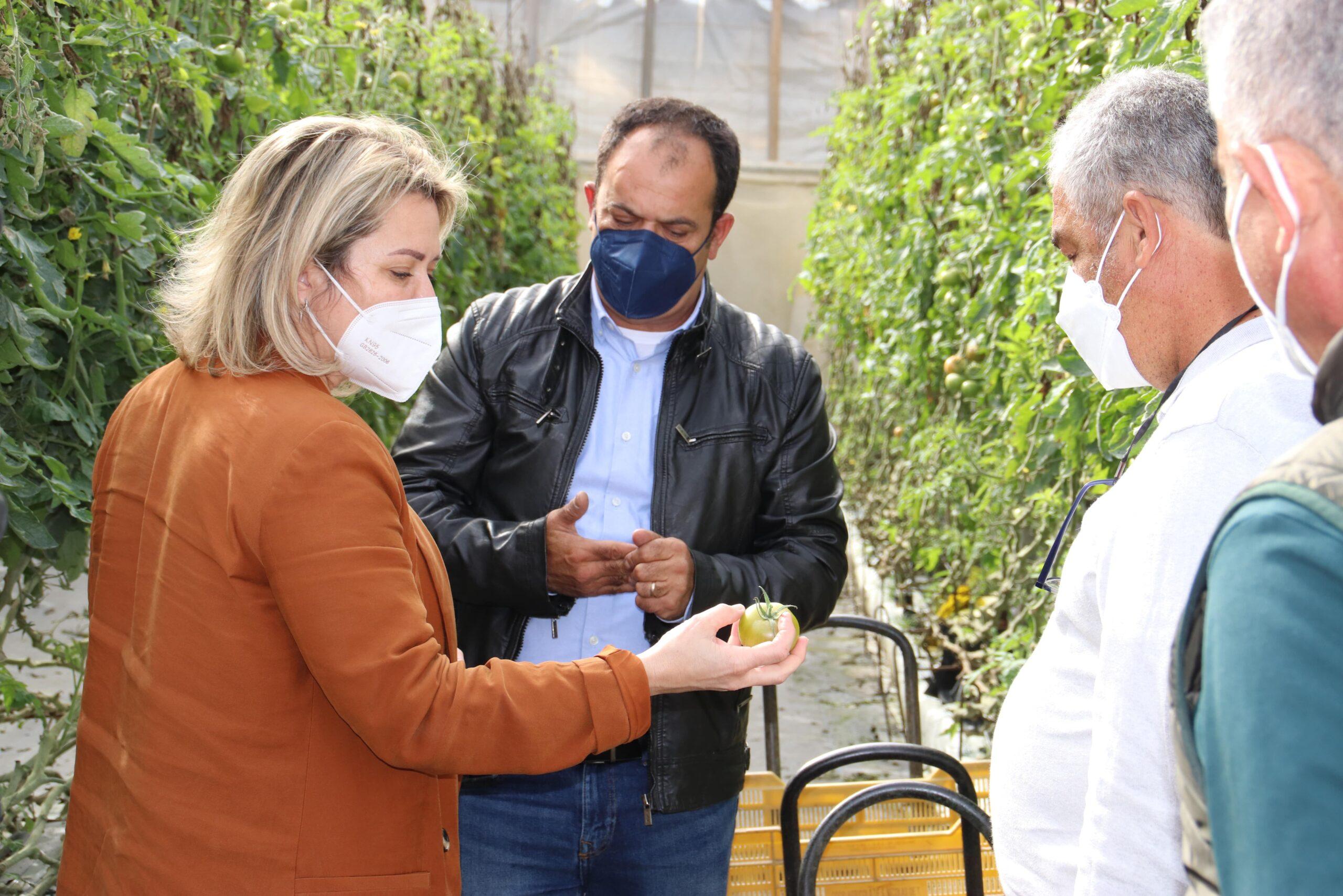 El Gobierno canario compensa con 700.000 euros  a los agricultores afectados por el mildiu