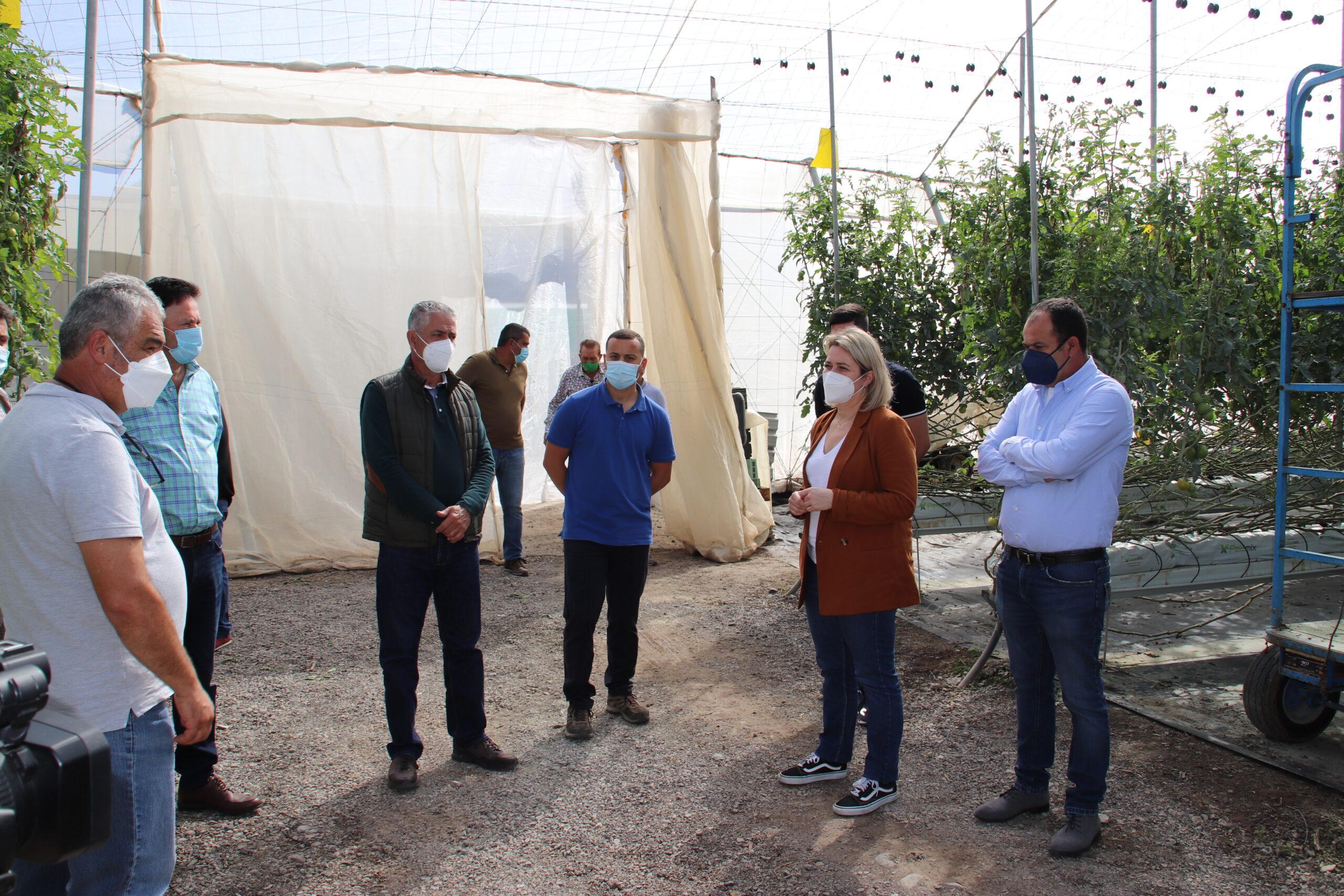 El Gobierno de Canarias abona los 720.000 euros a los productores de tomate afectados por el mildiu